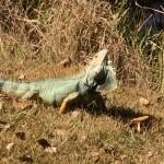 The Same Iguana?