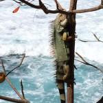 Surfin' Iguana